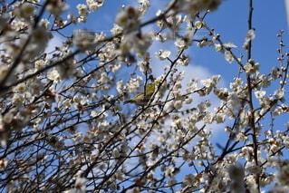 空,花,春,鳥,屋外,梅,樹木,メジロ