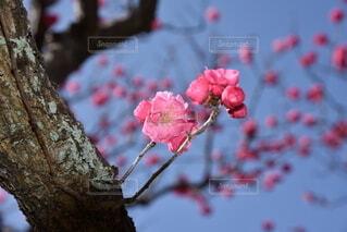 花,春,赤,梅,果物,樹木