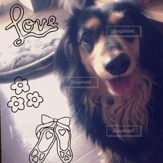 犬,ペット,笑顔,可愛い,ダックス,ミニチュアダックスフンド,ワンコ,ダックスフンド