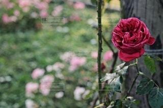 花,屋外,ピンク,赤,バラ,草木,ガーデン