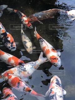 鯉の写真・画像素材[4119480]