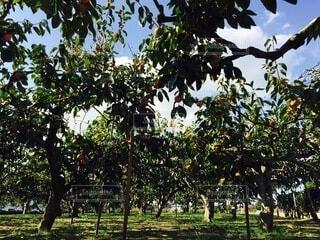 風景,秋,屋外,葉,景色,フルーツ,果物,樹木,柿,草木,柿畑