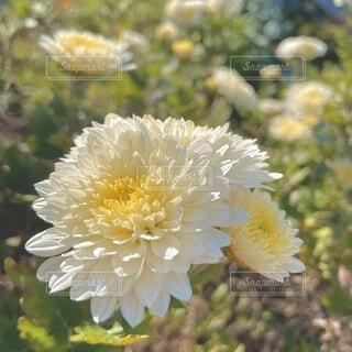 自然,風景,花,秋,白,フラワー,菊,真実