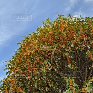 自然,空,花,屋外,オレンジ,樹木,金木犀,草木,キンモクセイ