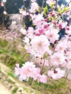 桜咲く春の写真・画像素材[4049679]