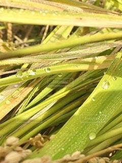 自然,秋,緑,景色,朝,稲,収穫,朝露,稲刈り,草木,朝つゆ,クローズ アップ