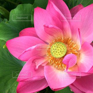 蓮根の花の写真・画像素材[1123540]