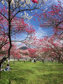 自然,花,春,花桃,日本の花