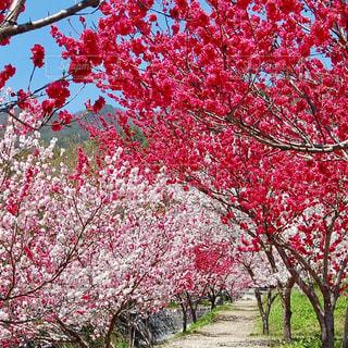 花,ピンク,桃,桃色,花桃,花桃の里,素敵な花
