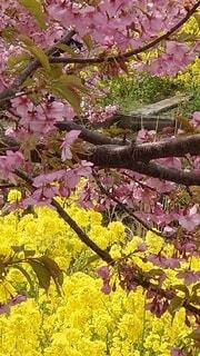 花,桜,菜の花,樹木,草木