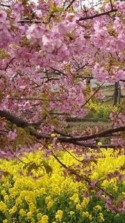 花,春,桜,ピンク,菜の花,樹木,草木,ブロッサム