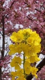 花,桜,ピンク,黄色,菜の花,草木,さくら,ブルーム,フローラ