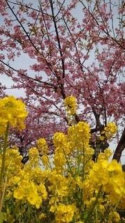 花,秋,桜,ピンク,黄色,葉,菜の花,樹木,草木