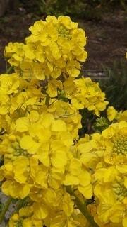 花,春,黄色,菜の花,草木,フローラ