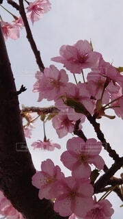 花,春,ピンク,草木,ブルーム,ブロッサム