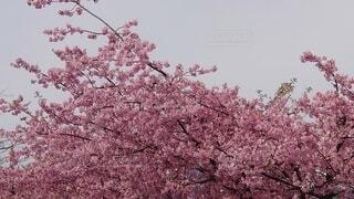 花,春,ピンク,樹木,草木,さくら,ブロッサム