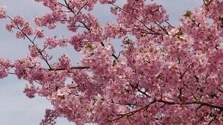 樹木,草木,桜の花,さくら,ブロッサム