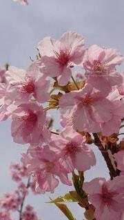 花,春,花束,草木,桜の花,さくら,ブルーム,ブロッサム