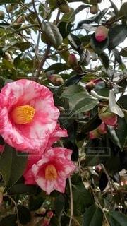 花,赤,バラ,花びら,薔薇,草木,フローラ