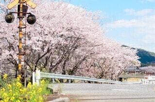 踏切と桜並木の写真・画像素材[4055616]