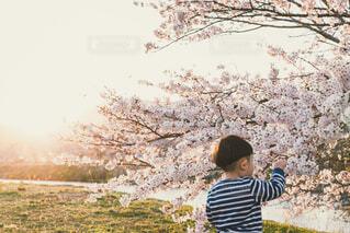 桜を触る子供の写真・画像素材[4281504]