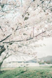 桜の写真・画像素材[4340773]