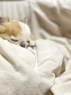 犬,動物,チワワ,白,かわいい,イヌ