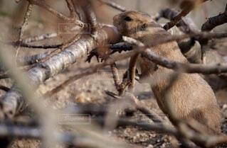 動物,木,屋外,植物,茶色,樹木,リス,可愛い,動物園,野生,ネズミ,プレイリードッグ