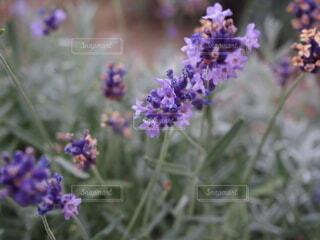 自然,花,紫,ラベンダー