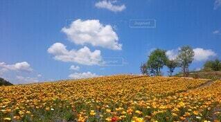 青空に映える黄色い花の絨毯の写真・画像素材[4053447]