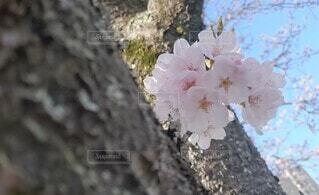 花,春,桜,木,ピンク,可愛い,草木,さくら