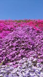 花,春,屋外,ピンク,紫,景色,芝桜,草木