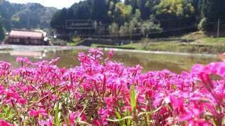 花,水面,田舎,草,田んぼ,芝桜