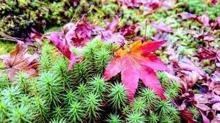 秋,屋外,緑,赤,葉,苔,草木,カエデ