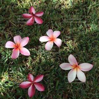 自然,花,芝生,屋外,ピンク,緑,赤,散歩,大地,ハワイ,Hawaii,flower,プルメリア,Plumeria