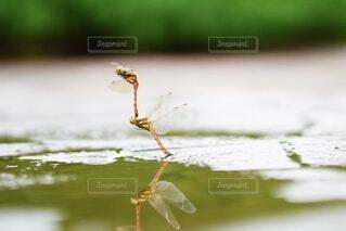 水面,虫,トンボ,昆虫