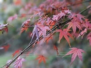 風景,秋,紅葉,庭,屋外,ピンク,赤,枝,葉っぱ,ウォーキング,葉,もみじ,樹木,癒し,かえで,朝,寺,お散歩,草木,カエデ