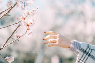 春,屋外,梅,ピクニック,人物,人,snap