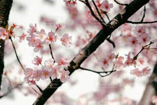 木の枝に花瓶の写真・画像素材[4235395]