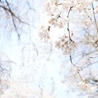 風景,空,花,春,雪,屋外,枝,樹木,草木,桜の花,さくら,ブロッサム