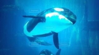 動物,魚,イルカ,水族館,泳ぐ,水中,サメ,シャチ,海獣,クジラ,海洋生物学