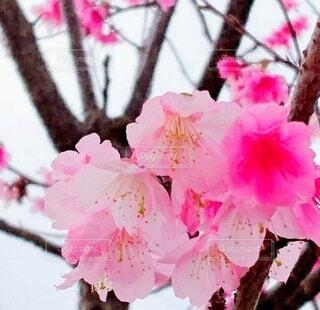 さくら 桜 沖縄の桜