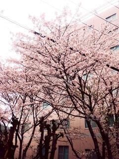 春,樹木,桜の花