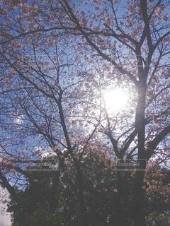 公園,桜,春先