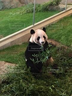 ジャイアント パンダ,食事中のパンダ