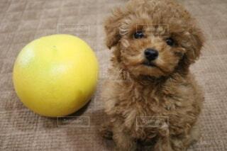 犬,動物,屋内,かわいい,子犬,プードル,愛犬