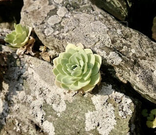 自然,花,屋外,緑,植物,岩,サボテン,石,多肉植物,石垣,草木,エケベリア属