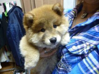 犬,動物,モコモコ,ポメシバ,うちの家族になった癒し系わんこ