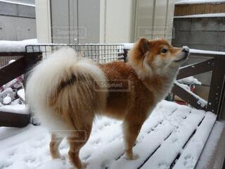 犬,かわいい,モコモコ,ポメシバ,初めての雪を楽しむわんこ