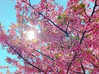 桜,代々木公園,さくら